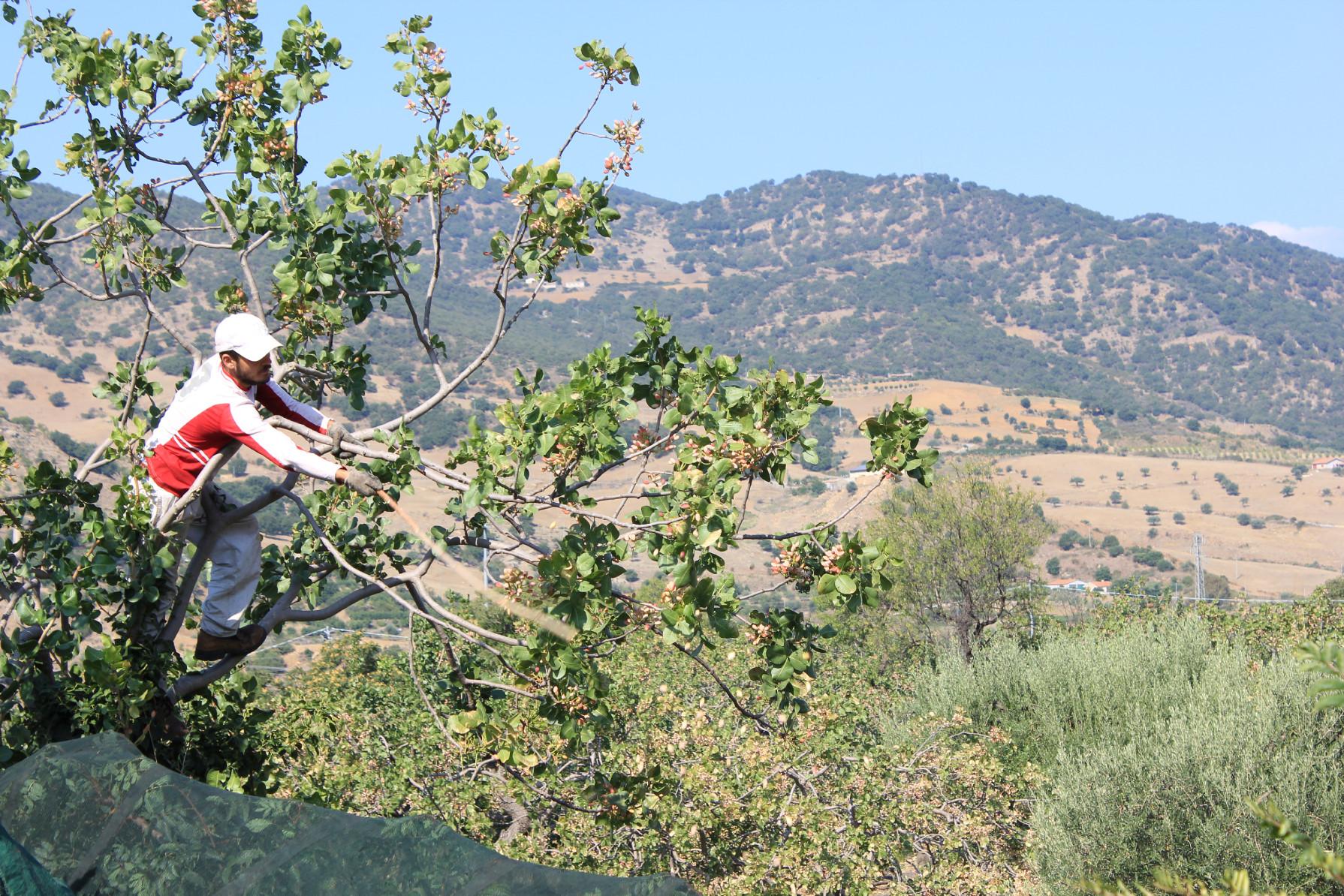 raccolta pistacchio bronte